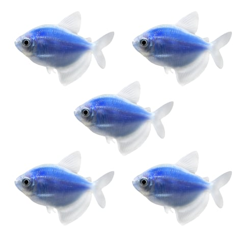 GloFish - 5-Pack Cosmic Blue Tetra