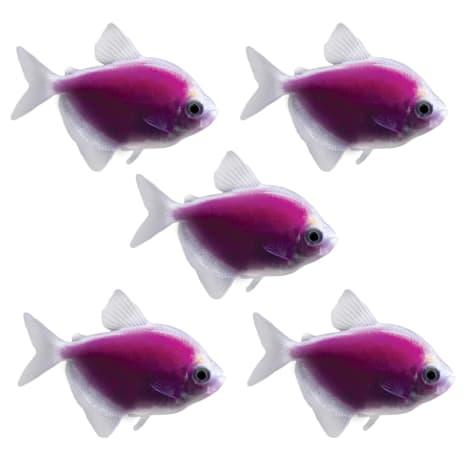 GloFish - 5-Pack Galactic Purple Tetra