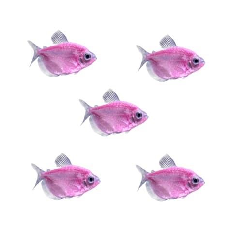 GloFish - 5-Pack Moonrise Pink Tetra
