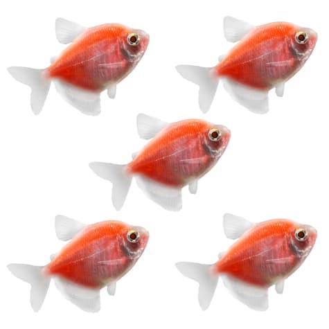 GloFish - 5-Pack Starfire Red Tetra