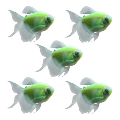 GloFish - 5-Pack Electric Green Longfin Tetra