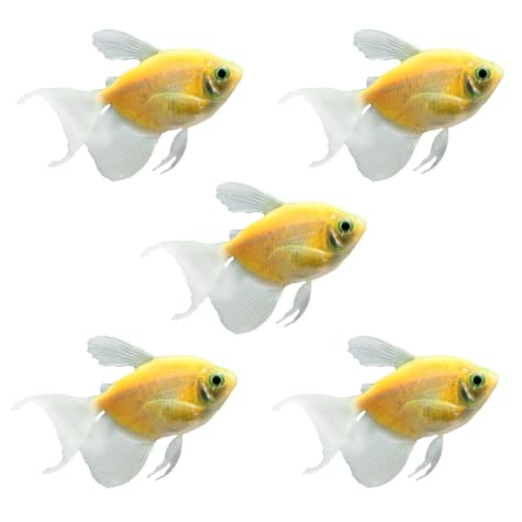 GloFish - 5-Pack Sunburst Orange Longfin Tetra