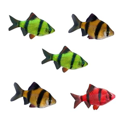 GloFish Assorted Barb