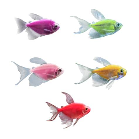 GloFish - 5-Pack Assorted Longfin Tetra