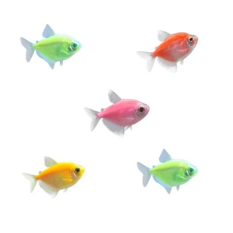 GloFish - 5-Pack Assorted Tetra