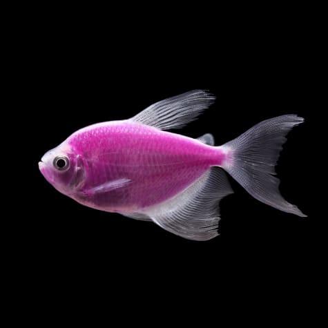 GloFish Galactic Purple Longfin Tetra