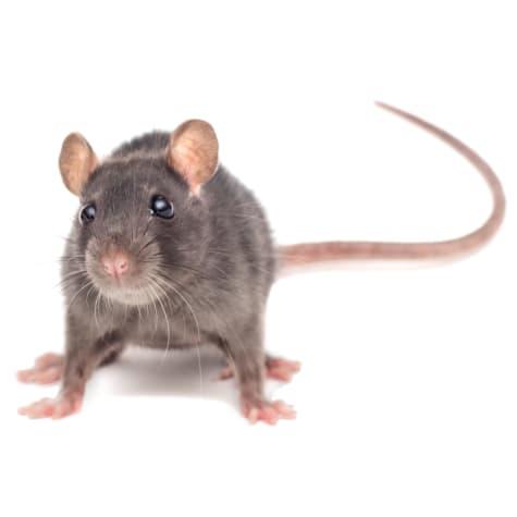 Rats For Sale Live Pet Rats For Sale Petco,Kangaroo Paw Print