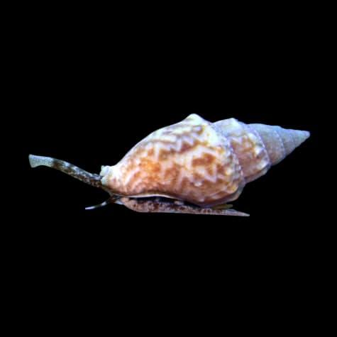 12-Pack Nassarius Snail
