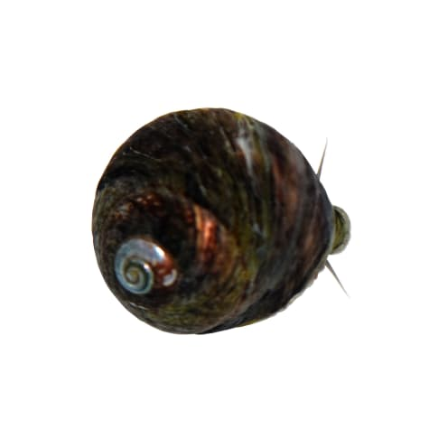 6-Pack Black Margarita Snail