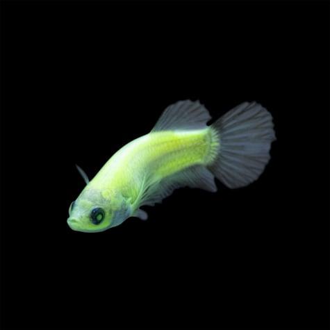 Female GloFish Betta