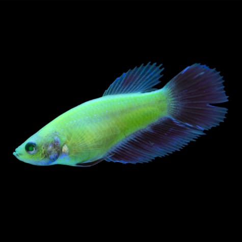 Standard Male GloFish Betta