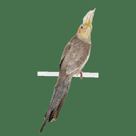 Cockatiels For Sale Cockatiel Birds For Sale Petco