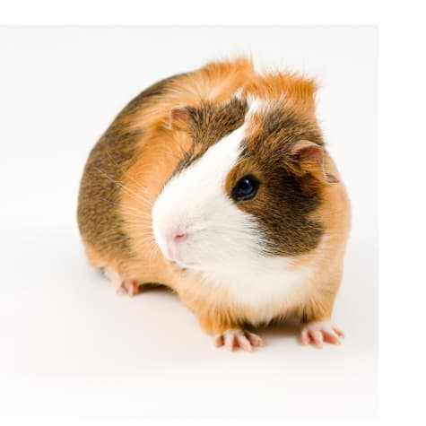 Guinea Pigs For Sale Buy Live Guinea Pigs For Sale Petco
