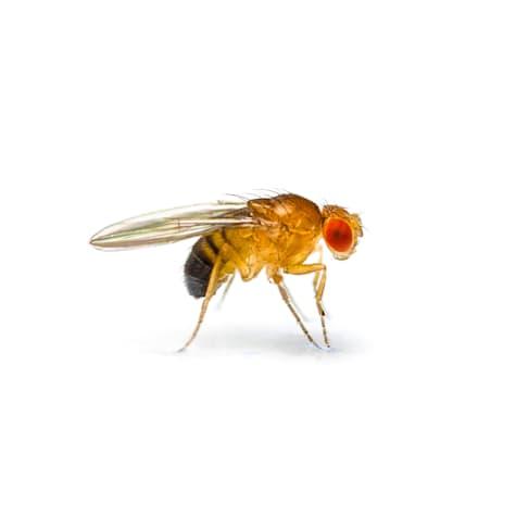 Flightless Fruit Flies- d.hydei