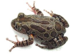 Terrestrial Frogs (large)