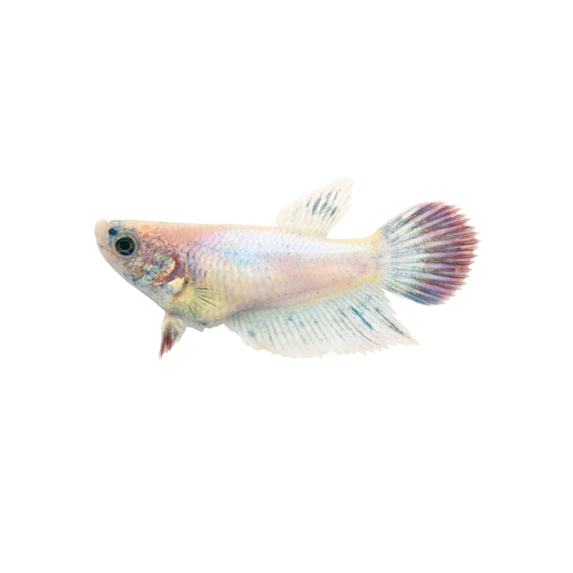 Female Veiltail Betta Fish Siamese Fighting Fish Extra Large Petco