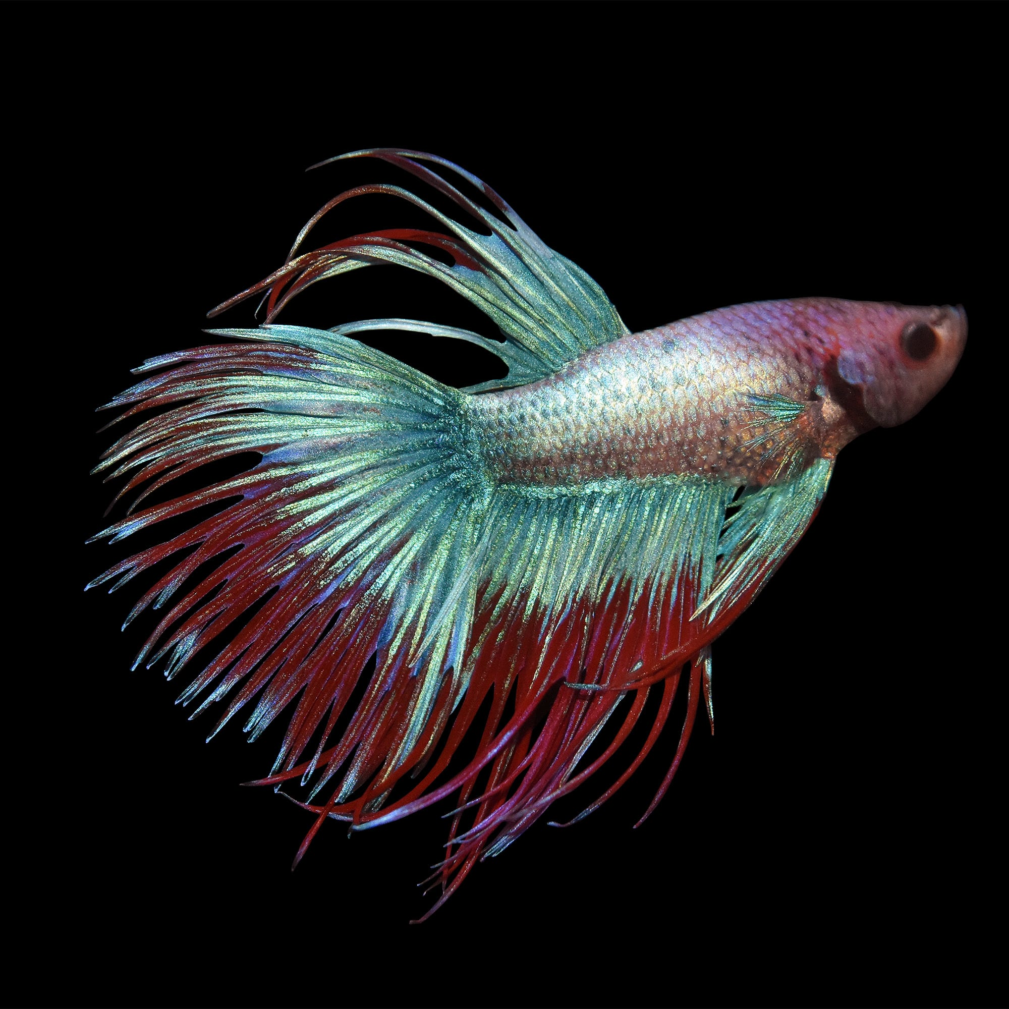 Male Crowntail Bettas for Sale: Order Online | Petco - photo#7