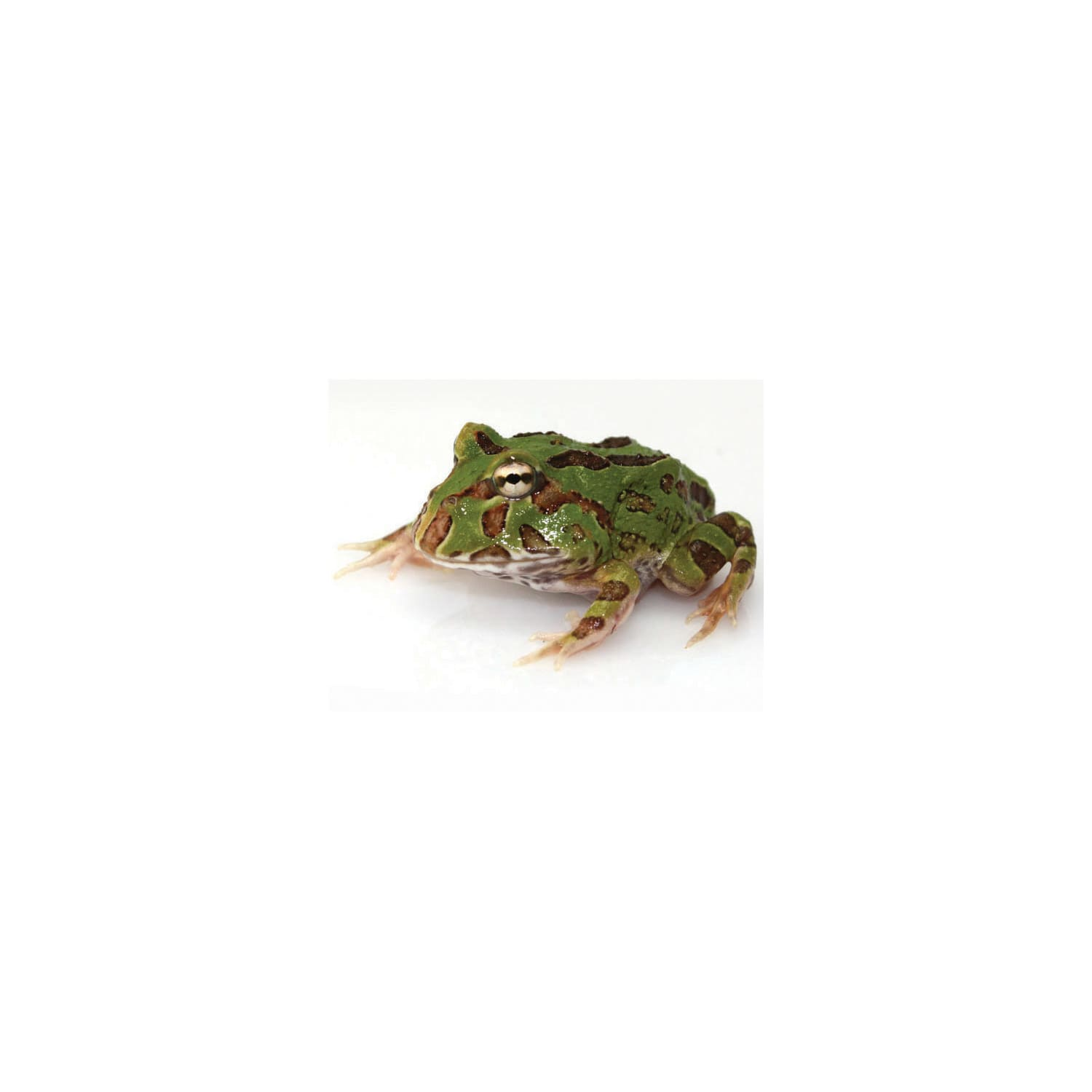 Pacman Frogs For Sale Ceratophrys Cranwelli Petco