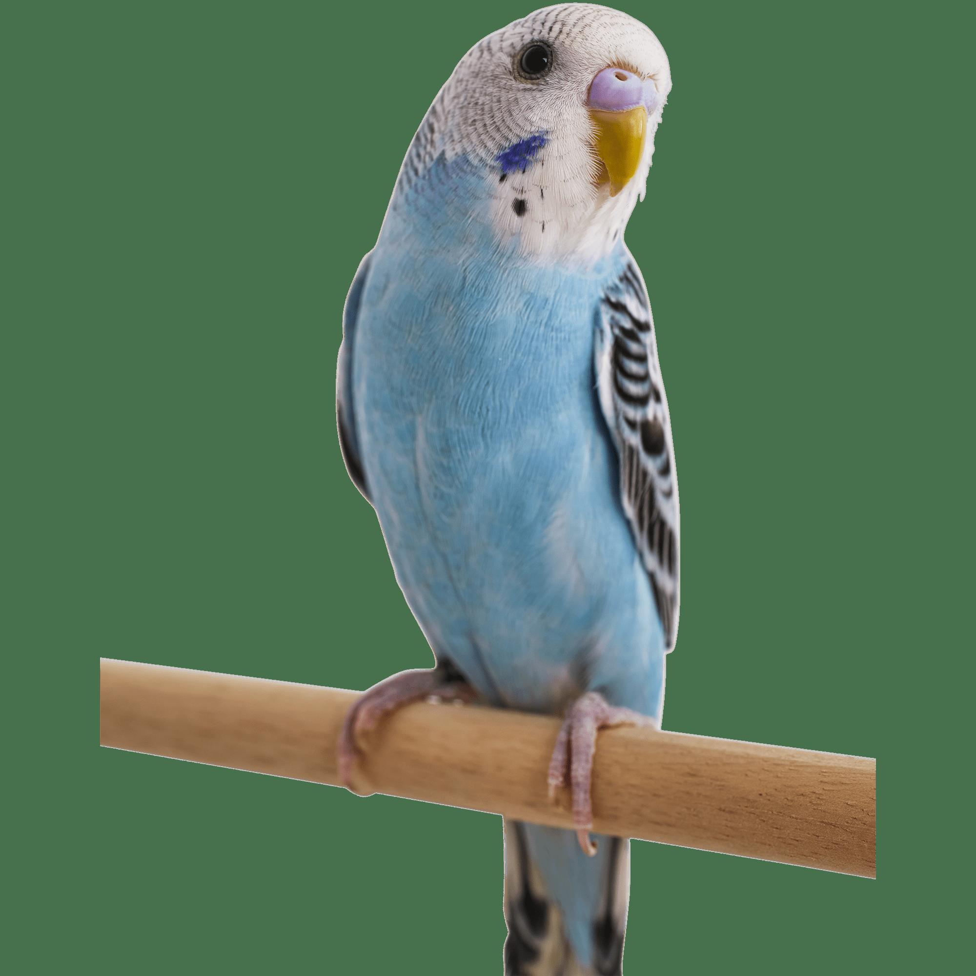 .:Request:. Blue Parakeet Minecraft Mob Skin