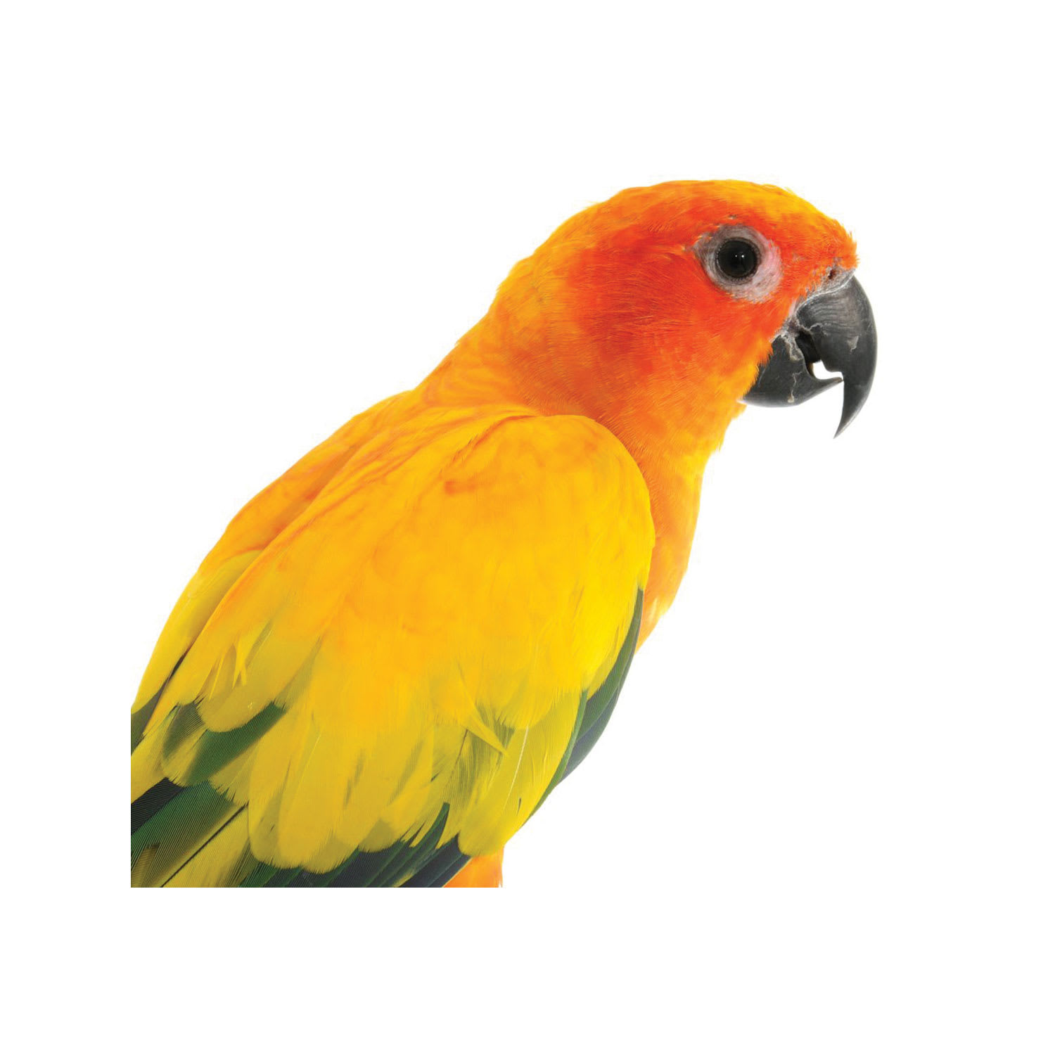 Sun Conures For Sale Aratinga Solstitialis Petco