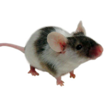 Mice For Sale Mus Musculus Petco