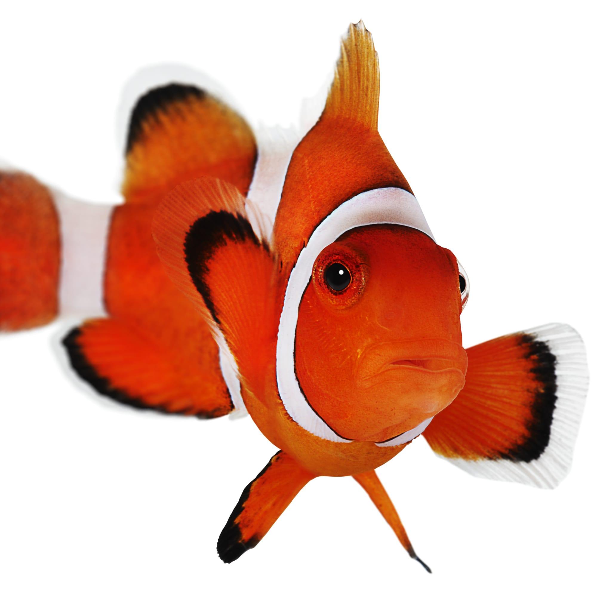 Ocellaris Clownfishs For Sale Aquacultured Petco