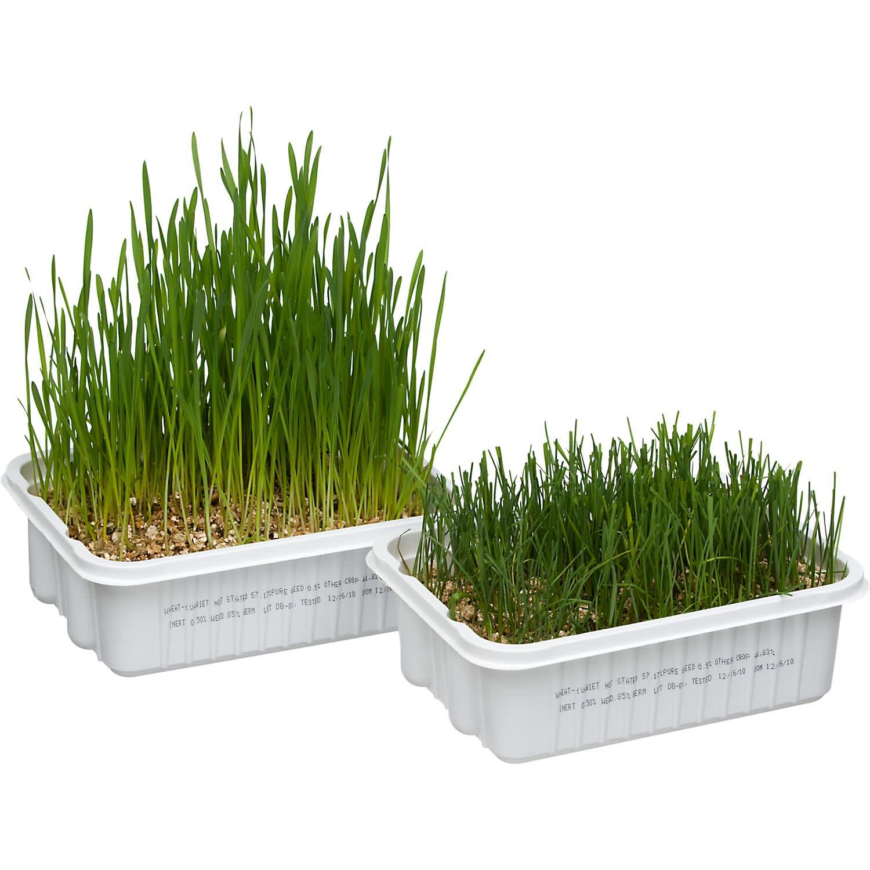 growing pet grass