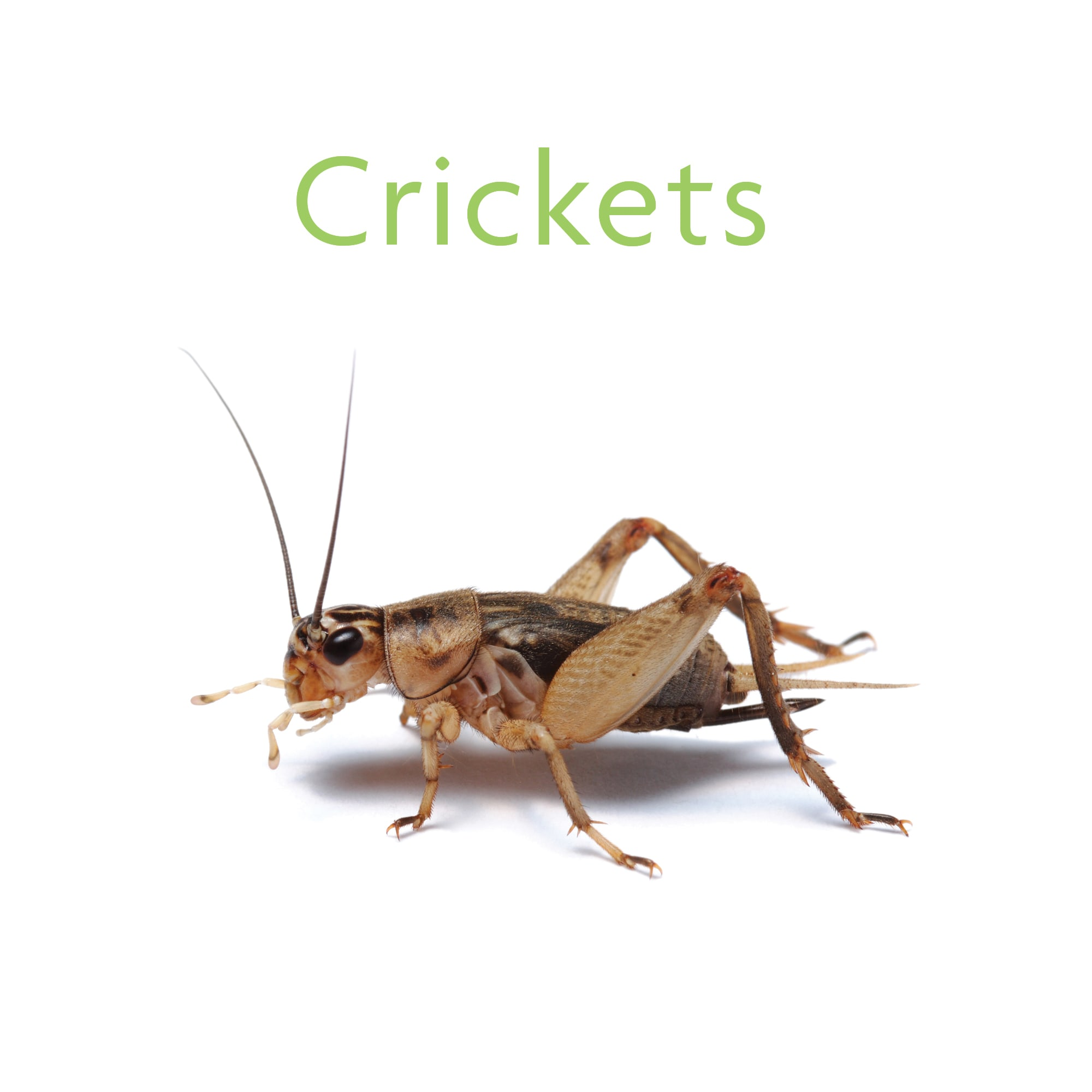 Vita Bugs Pinhead Live Crickets, Count of 12