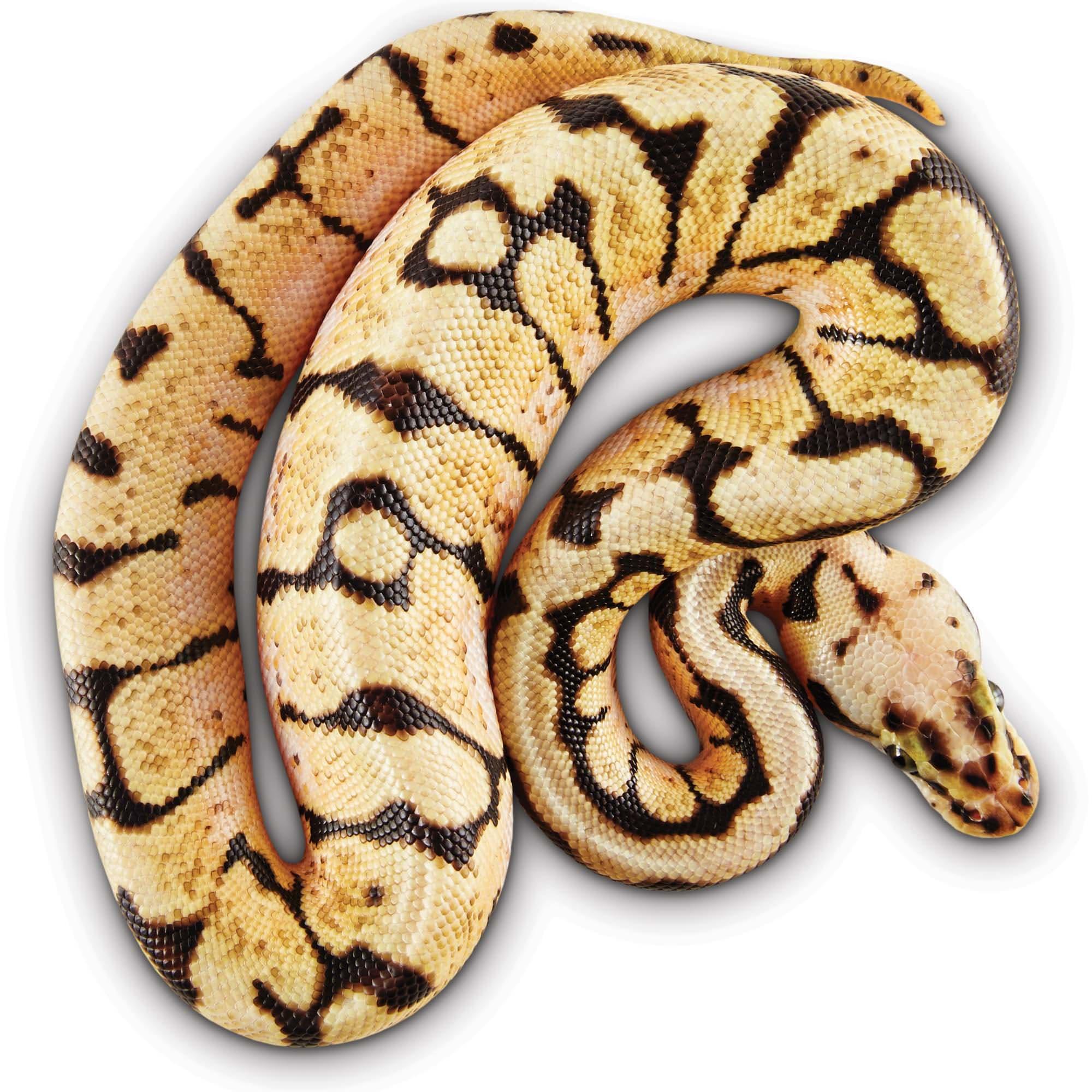 Ball Pythons For Sale Python Regius Petco