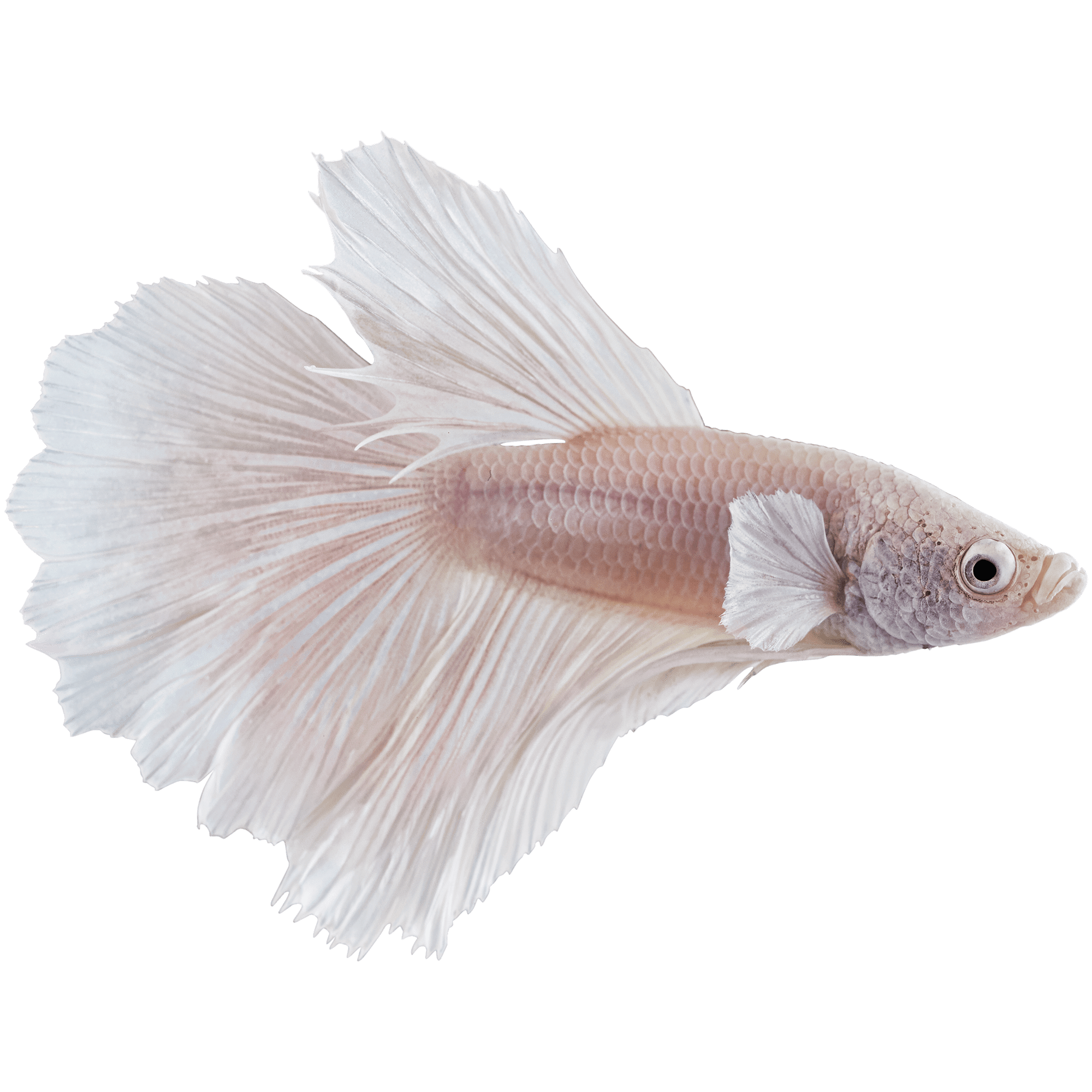Male White Opal Bettas For Sale Order Online Petco