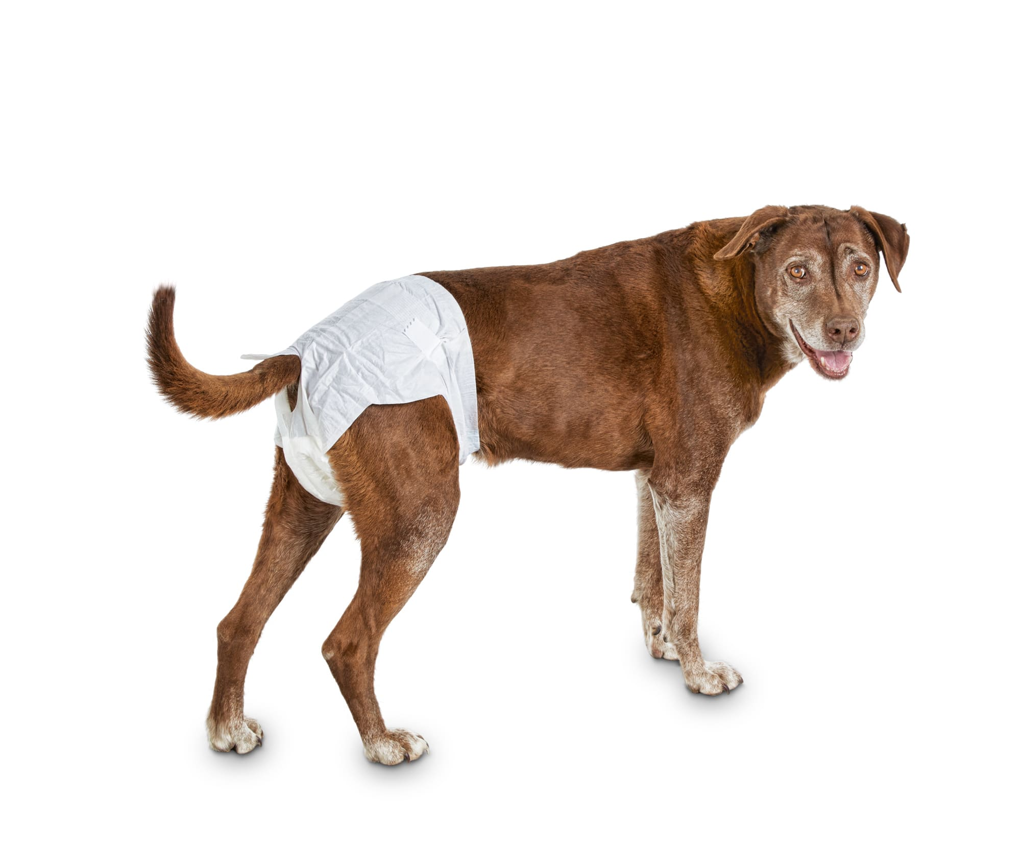 S M White All-Absorb Male Dog Wrap 50 Count Free Ship L XS