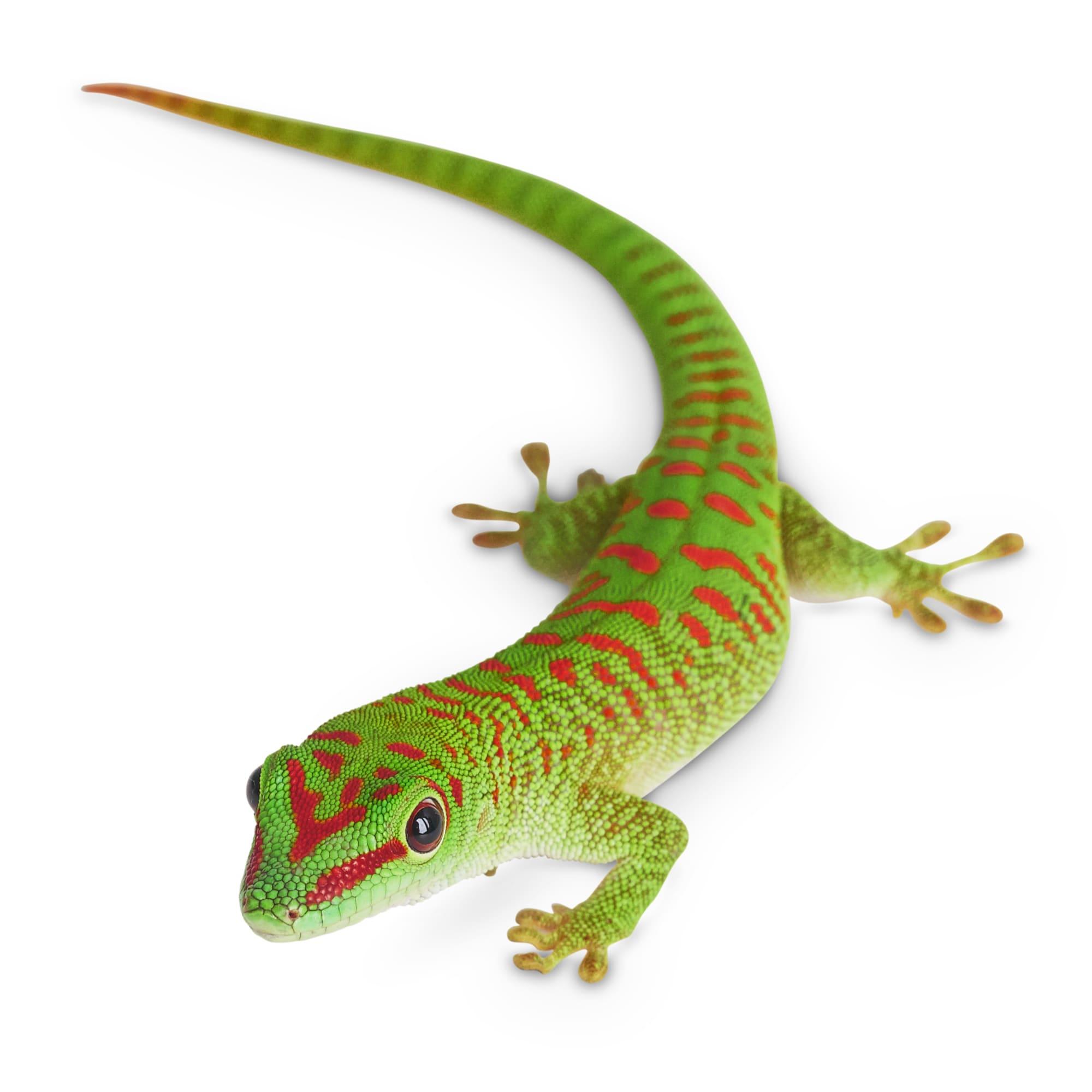Giant Day Geckos For Sale Phelsuma Sp Petco