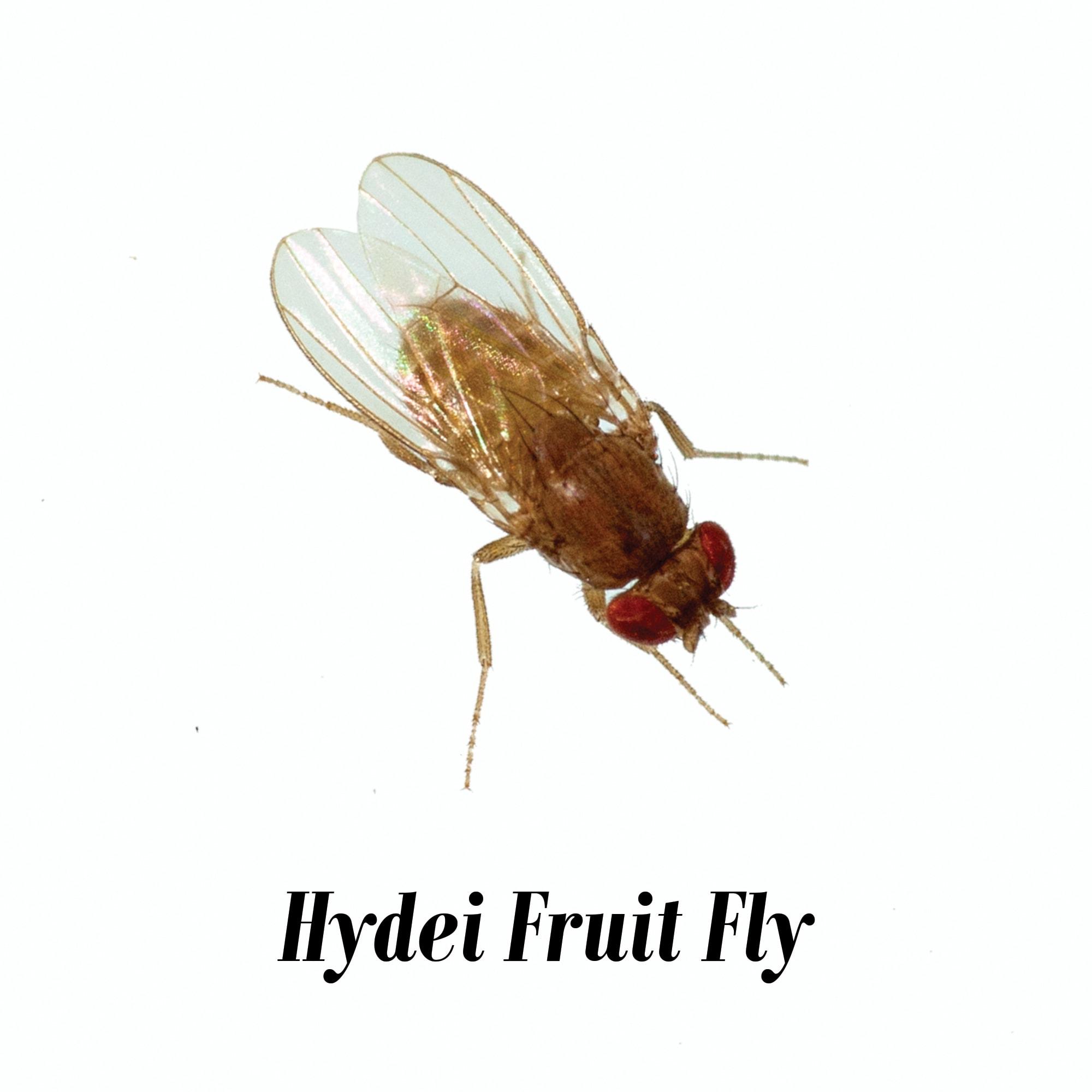 Hydei Fruit Fly Culture Drosophila hydei, Pack of 12