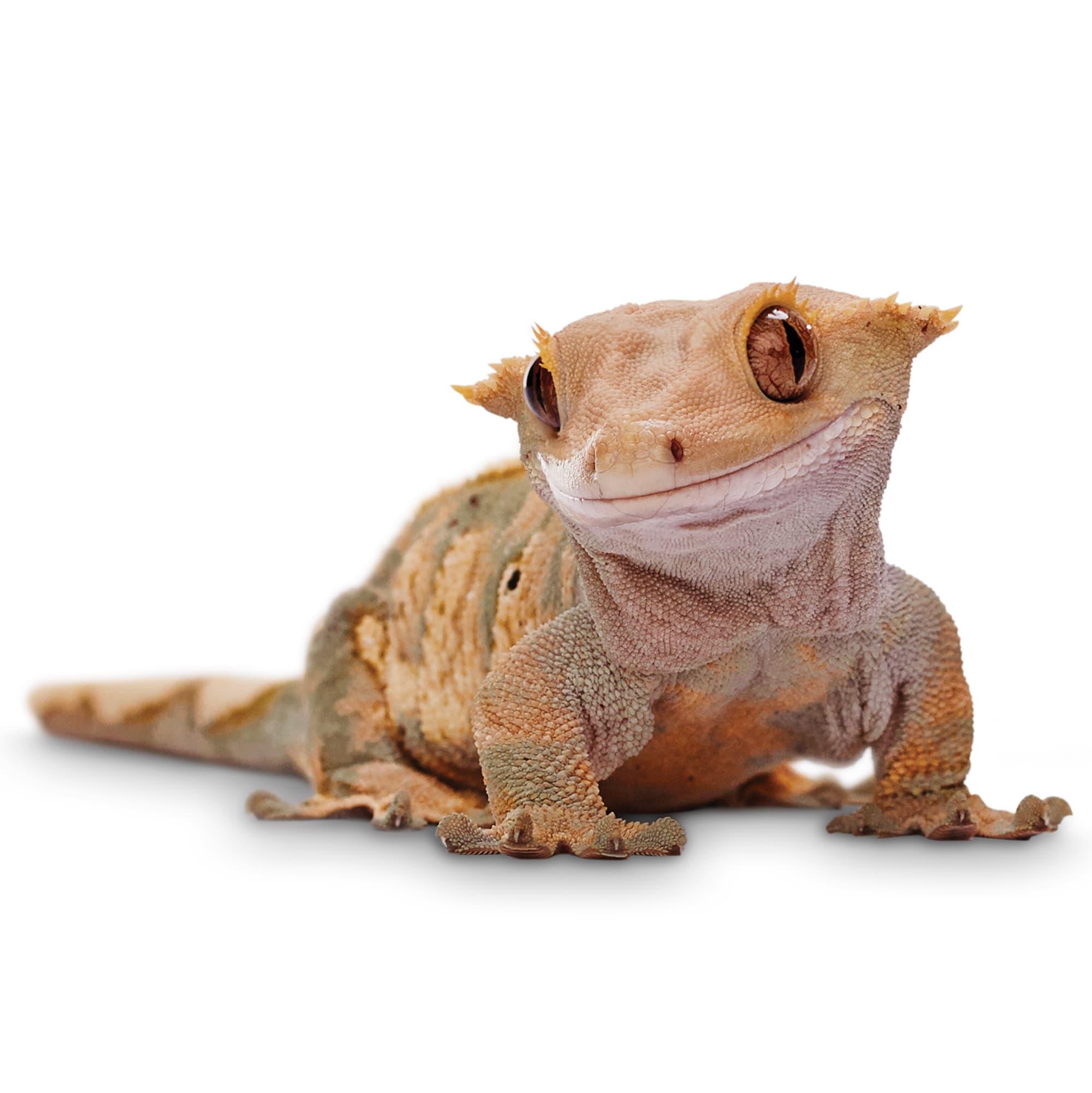 Crested Geckos For Sale Correlophus Ciliatus Petco