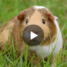 What To Know About Your New Guinea Pig Petco