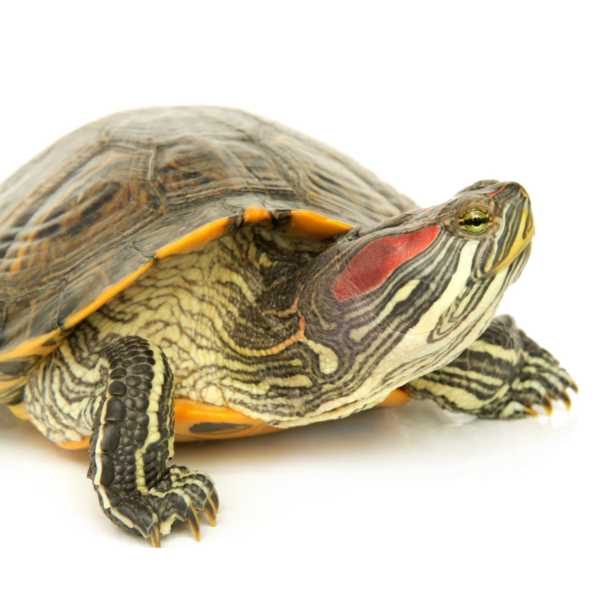 Red Eared Slider Turtles Red Eared Slider For Sale Petco