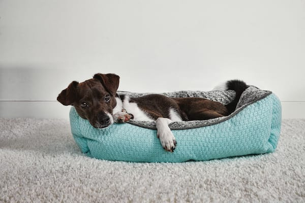 small dog in teal bed