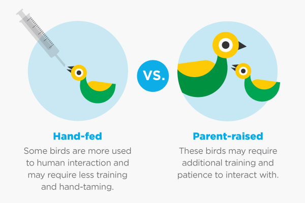 hand fed vs parent raised birds