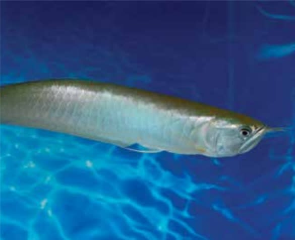 Arowana Fish Petco
