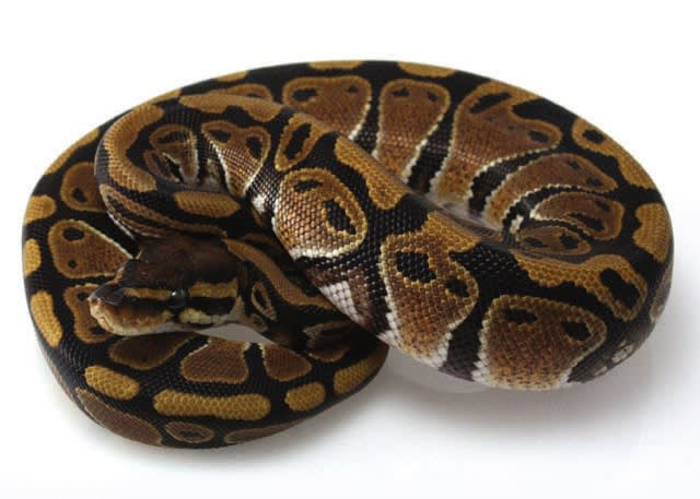 Ball Python Care Sheet Facts Pet Ball Pythons Petco Plastic containers have become surprisingly popular as ball python cages over the last few years, mainly thanks to exhaustive experimentation by experienced breeders. ball python care sheet facts pet