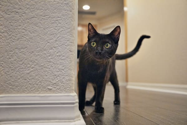 Black cat exploring home