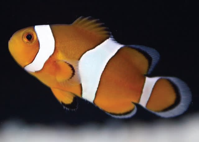 Clownfish and Damselfish
