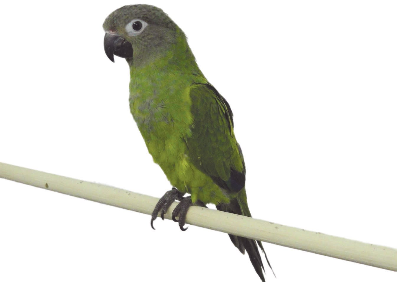 Conure Bird Green Cheek Conure Care Petco