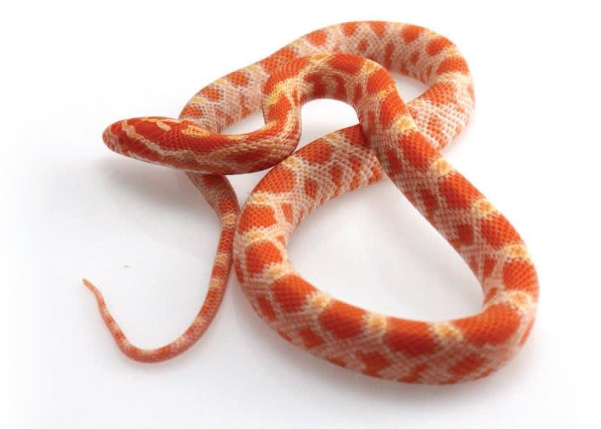 Corn Snake Petco