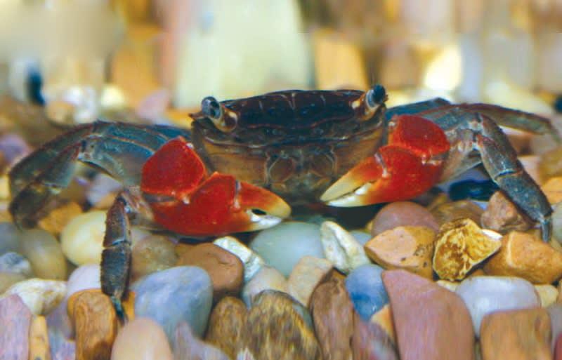 Freshwater Crab Petco