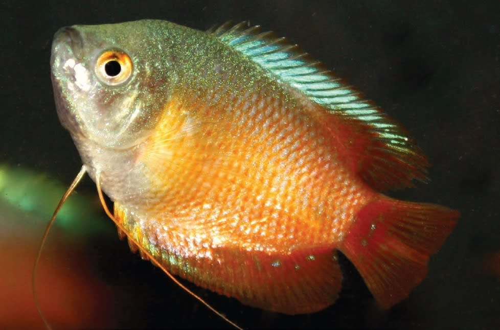 Gourami and Paradise Fish