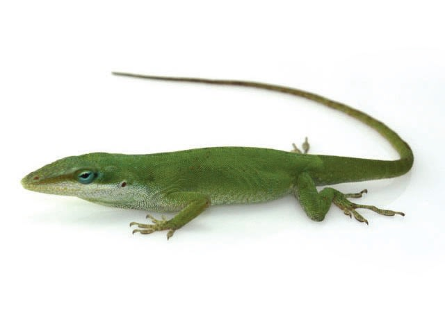 Green and Bahama Anole