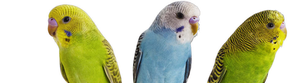 group of parakeets
