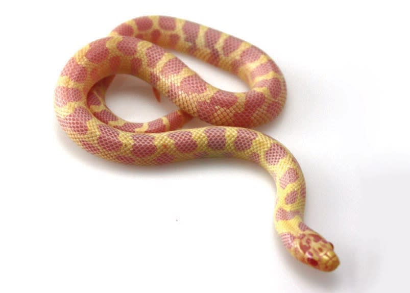 King And Milk Snakes Care Sheet Petco