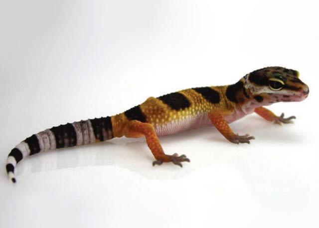 Leopard Gecko Petco